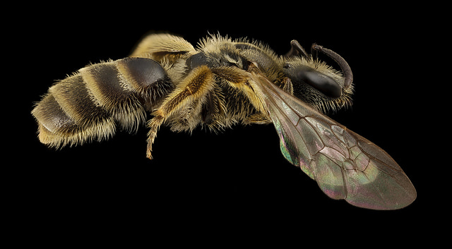 Lasioglossum albipes